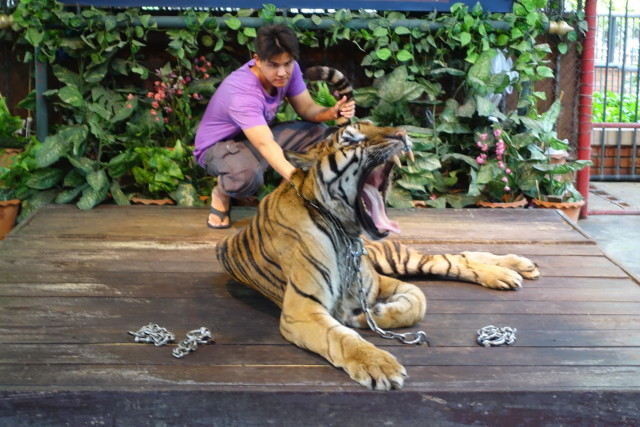 トラと戯れる